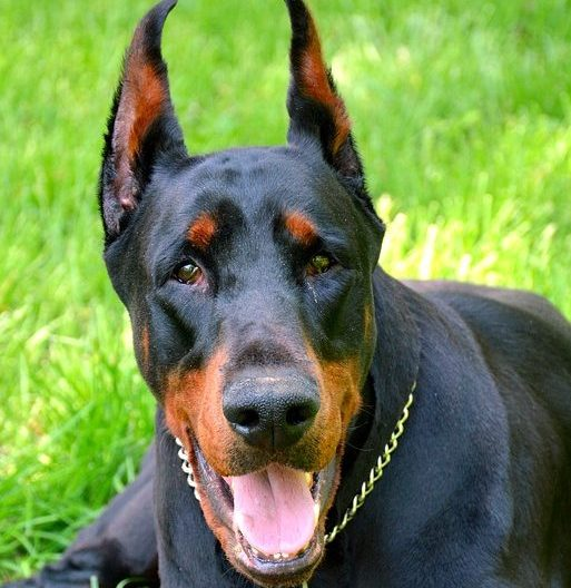 Doberman Americano vs Doberman Europeo